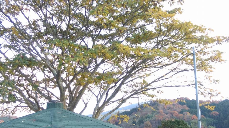 カラスの木