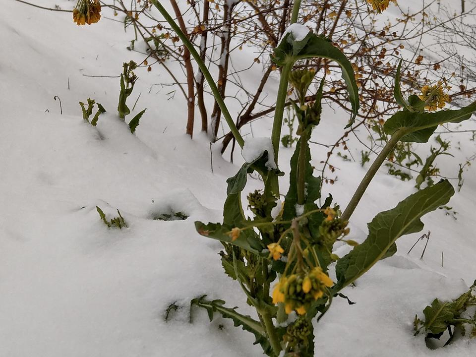 フローズン菜の花
